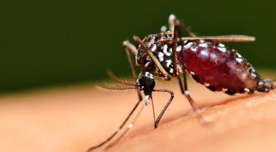 OMS tenta esterilizar mosquitos para combater dengue, Zika e malária