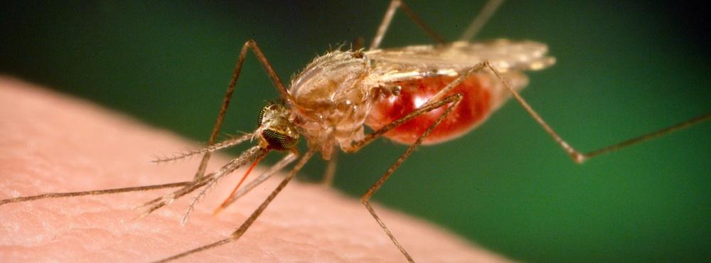 Investigadores demonstram eficácia de fármaco contra parasita que transmite a malária