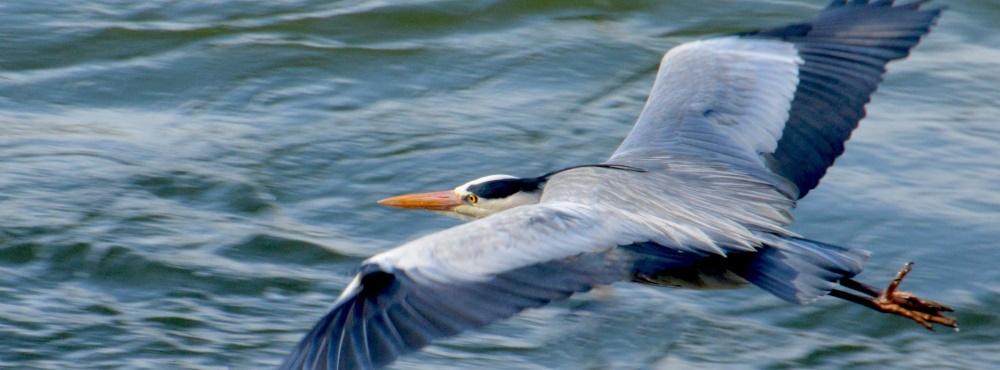 Detetado caso de gripe aviária em garça-real no Algarve