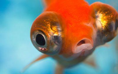 Muco que cobre peixes pode ser fonte de novos antibióticos