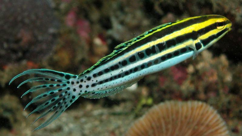 Veneno de peixe tropical para desenvolver novos analgésicos