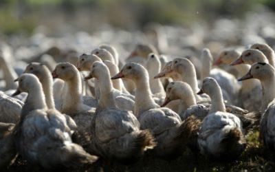 Fim da gripe aviária em França