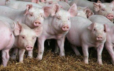 China abate milhares de porcos para tentar travar propagação da peste suína