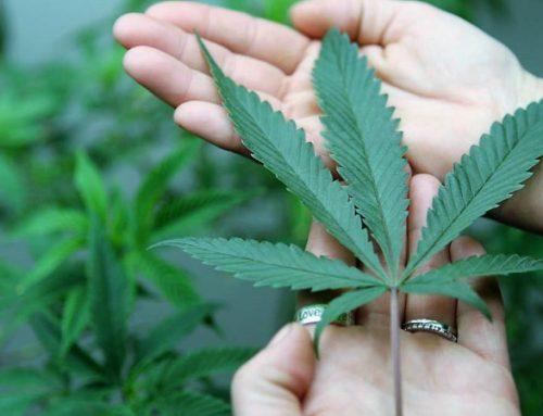 Infarmed aprova primeira substância à base de canábis para fins medicinais