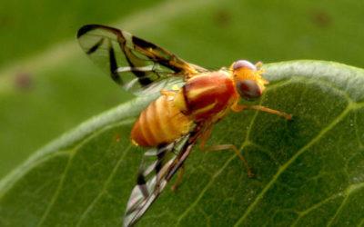 Descobertas sobre mosca da fruta podem ajudar a compreender melhor os humanos