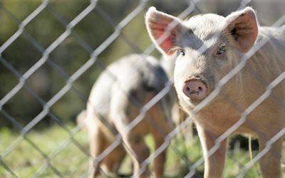 China interdita carne de Timor-Leste devido a peste suína
