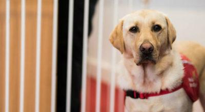 Investigação sugere que cães treinados para deteção médica melhoram qualidade de vida de pessoas com diabetes