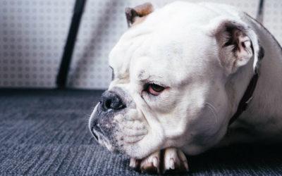 Cientistas descobrem ligação entre cauda do bulldog e doença humana rara