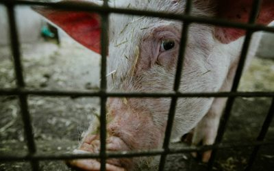 Surto de peste suína em Hong Kong: vão ser abatidos 6.000 porcos