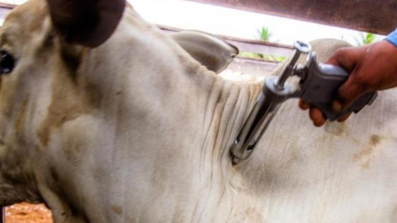 Moçambique vacina 450 mil animais contra febre aftosa