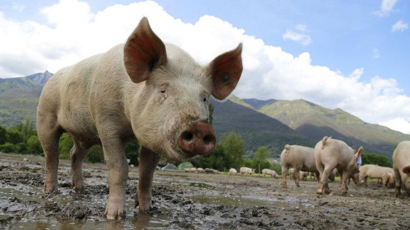 Urgência em produzir vacina contra peste suína sobe com doença a alastrar pela Ásia