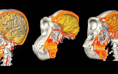 Estudo: Cérebro e crânio têm evoluído de formas diferentes [com vídeo]